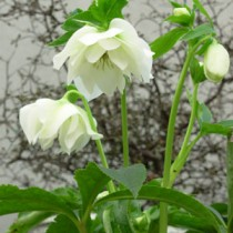 Helleborus orientalis 'Mrs Betty Ranicar'