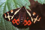 vlinders30